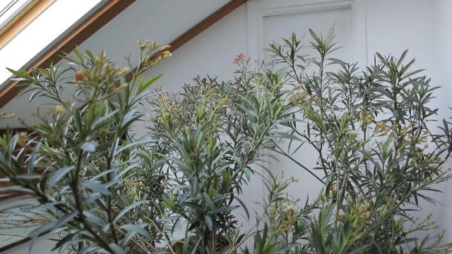 Bez muke: Kako sačuvati oleander tokom zime