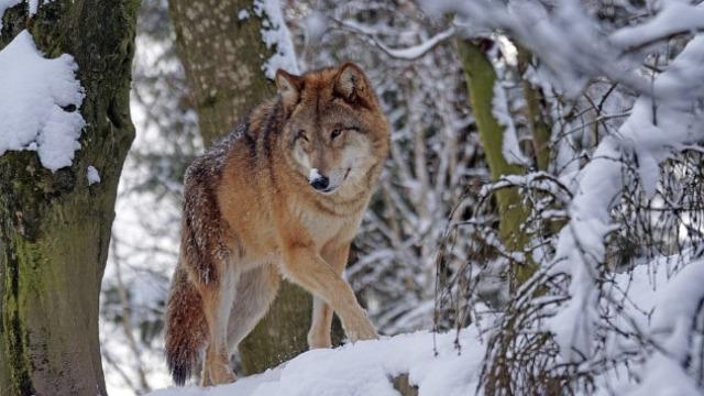 Neopravdano ubijanje vukova u Nacionalnom parku Đerdap