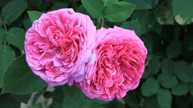 Biznis od proizvodnje ruže: Kako se to radi u Bugarskoj