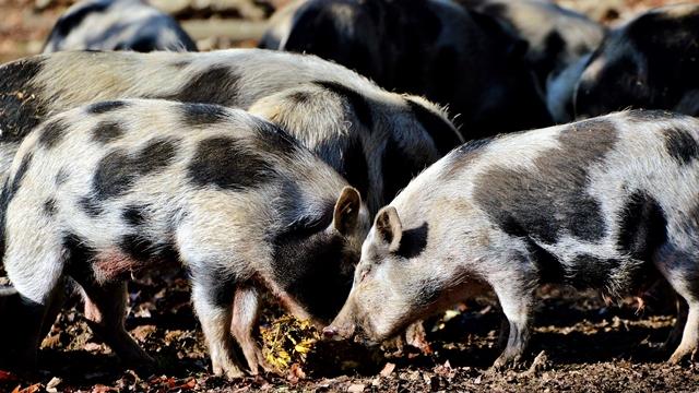 Mere suzbijanja afričke kuge: Zabranjuje se slobodan uvoz svinja iz pogođenih zemalja