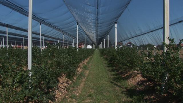 Rejonizacijom do konkurentnosti: Na plodnoj vojvođanskoj zemlji sada se gaje malina i borovnica