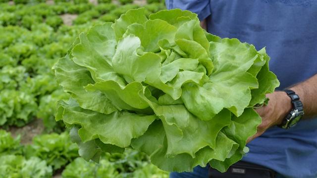 Birajte pametno: Pravom sortom sprečite plamenjaču zelene salate