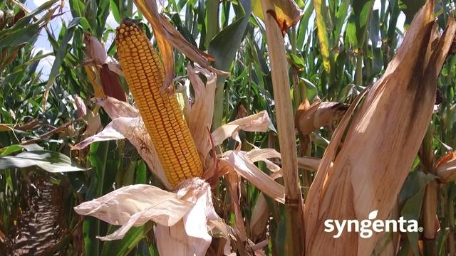 Proizvodnja u ekspanziji: Ovi hibridi kukuruza daju vrhunske rezultate