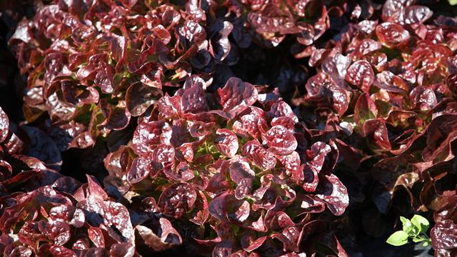 Sa zelenom salatom dobar plasman na tržištu je zagarantovan