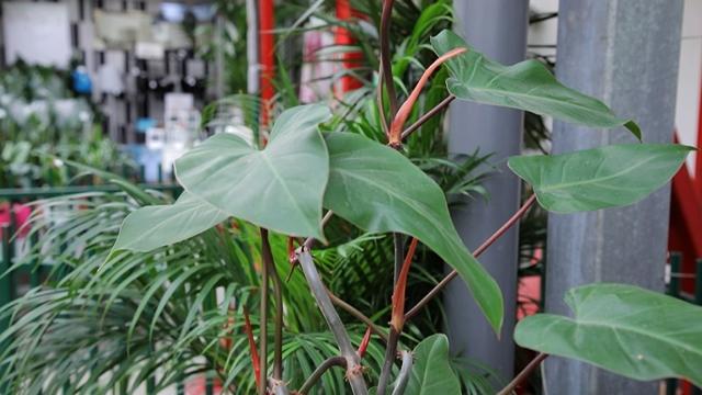 Filadendron - prava dekorativna biljka koju možete gajiti u stanu