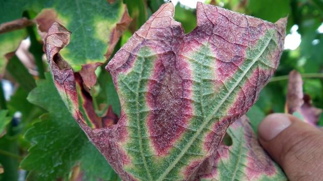 Zaštita vinove loze: Kako da prepoznate fitoplazmu i da je suzbijete
