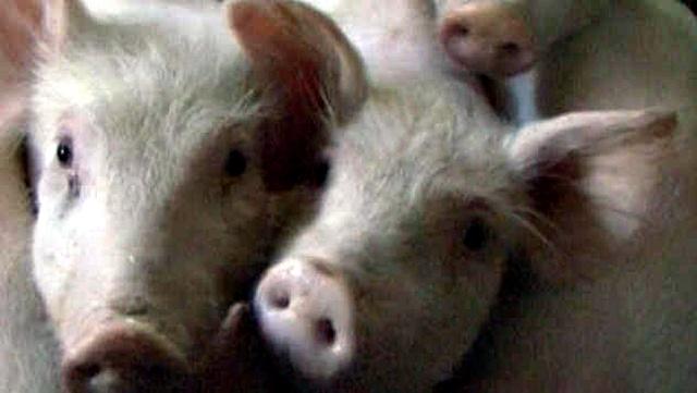 Razmatra se ukidanje vakcinacije protiv klasične kuge svinja