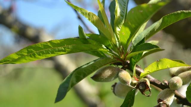 Od adekvatne zaštite zavisi i kvalitet plodova koštičavog voća