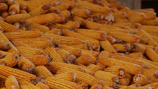 Hibrid kukuruza koji dobro podnosi veću gustinu setve