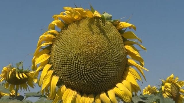 Hibridi suncokreta za stresnije i intenzivnije uslove gajenja