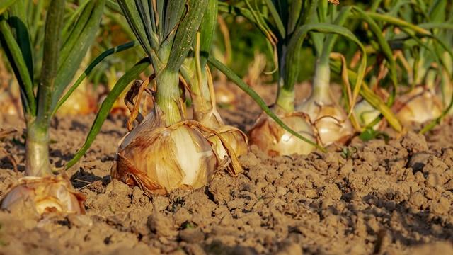 Korovi oduzimaju biljakama hranu i vodu - sprečite to!