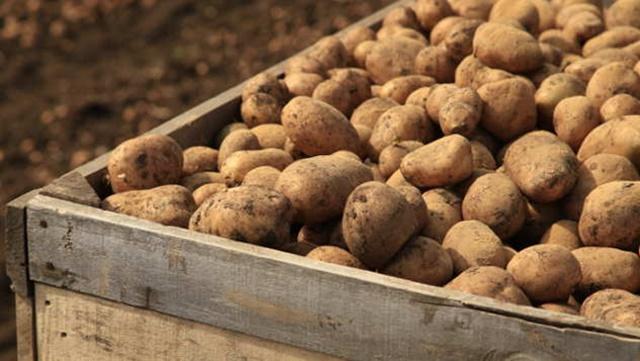 """Uvoz stalno raste, a nakupuci uporno prodaju """"lažni"""" Ivanjički krompir"""