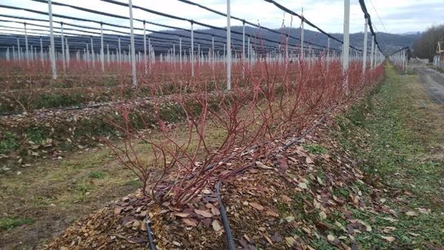 Za ujednačen plod borovnice bitna je dobra protivgradna zašitita