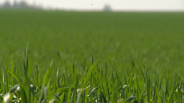 Da ne dođe do umanjenog prinosa - suzbijte korove u strnim žitima