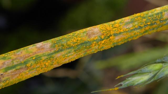 Sprečite širenje bolesti: Već u rano proleće počnite sa zaštitom pšenice