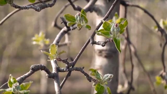 Važna je preventiva: Stvaranju infekcija kod jabuke pogoduje vlažno vreme