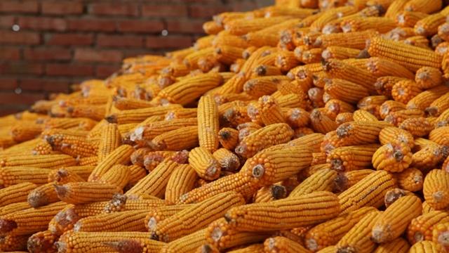 Hibridi kukuruza za sve tipove zemljišta