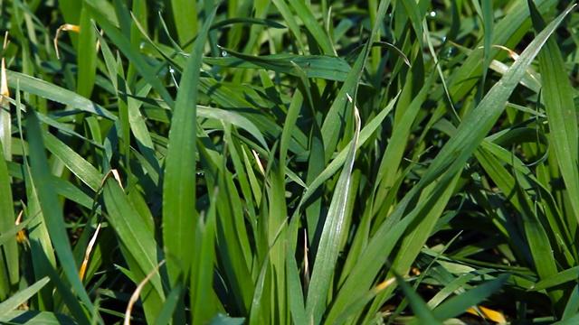 Za pun rod pšenice potrebna je potpuna nega i zaštita