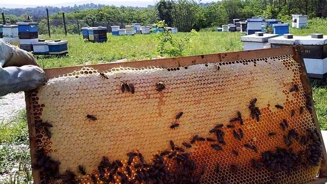 Bez veštačke prihrane pčela: Nikolinim načinom pčelarenja do održivosti