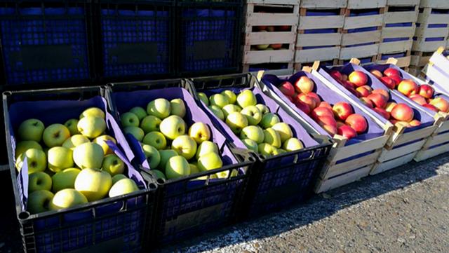 Slankamen: Hladnjače pune jabuka, stvara se monopol među izvoznicima