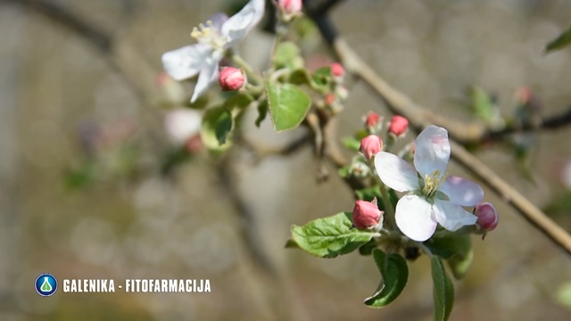 U ovim fenofazama breskva i jabuka su vrlo osetljive - Prevencija će vam sačuvati rod