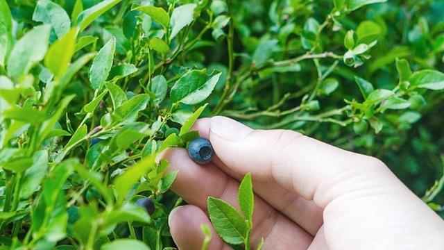 Proizvodnja borovnice: Prosečna mesečna zarada oko 5.000 evra po hektaru