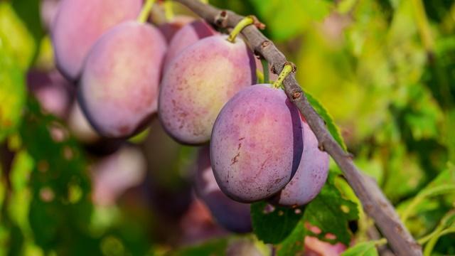 Proizvodnja koštičavog voća: Za dobar rod važna je zaštita zasada