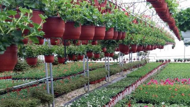 Proizvodnja cveća: Ova porodica to radi godinama, od ove počinje da izvozi u EU