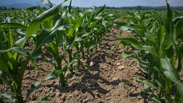 Evo zašto je toliko važno suzbijanje korova u kukuruzu nakon nicanja
