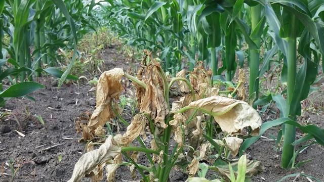 Povoljniji i efikasniji preparati za zaštitu kukuruza