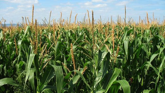 Od čega zavisi isplativost gajenja kukuruza?
