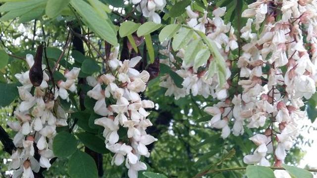 Vremenske prilike zabrinule i pčelare -  Bagremova paša nikad gora