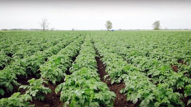 Zaštita krompira: Plamenjača i krompirova zlatica ugrožavaju rod