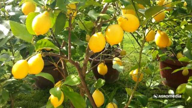 Gde cveta limun žut [AGROFOTO]