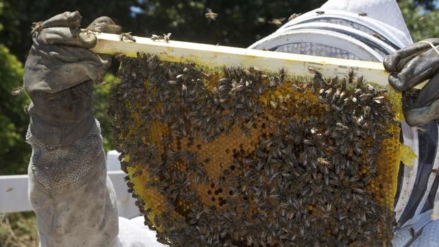Srpske pčelinje matice: Zbog kvaliteta i cene brzo se prodaju na stranom tržištu