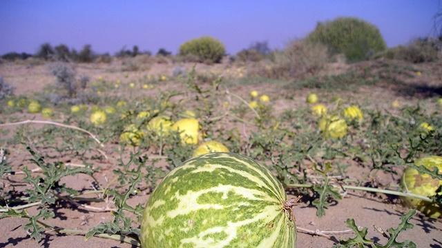 Gajenje dinja i lubenica na otvorenom polju