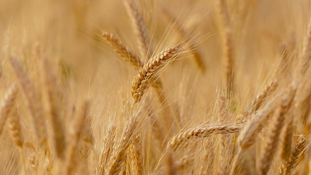 Nekad nije bilo tako: Od pšenice se danas može i zaraditi