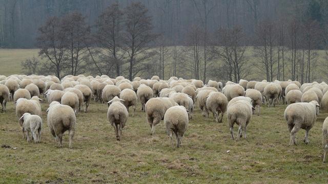 Kako se može zaraditi u ovčarstvu? - Od plasmana vune i mesa