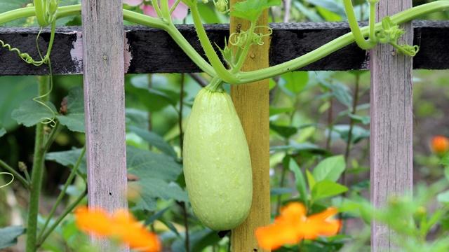 Nega tikvica u bašti: Vodite računa o ovim stvarima