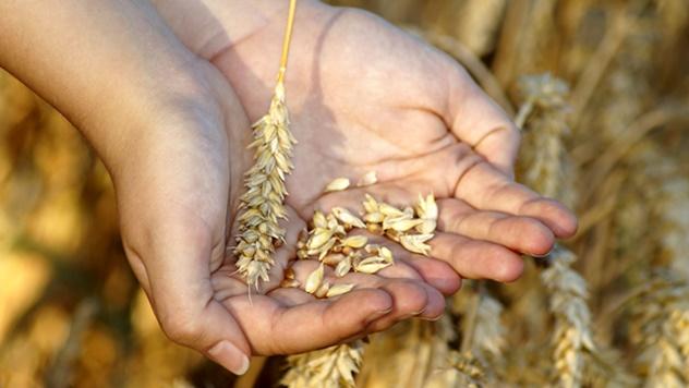 Kako da uvek imate najbolju pšenicu u ataru?