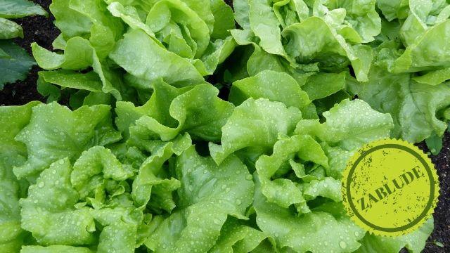 Zablude: Koliko često treba zalivati zelenu salatu?