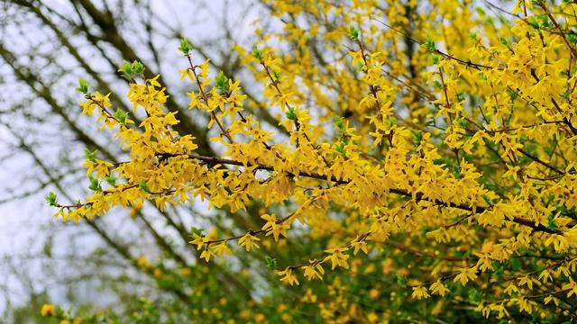 Forzicija: Kako se neguje biljka sitnih žutih cvetova