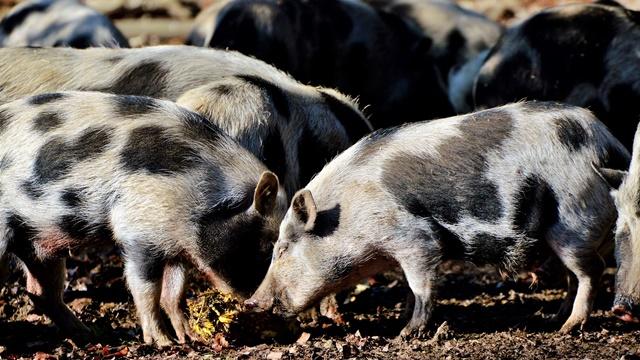 Ishrana svinja: Ulje od origana umesto antibiotika