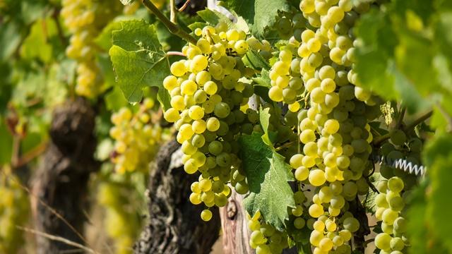 Zaštita vinove loze od grožđanog moljca
