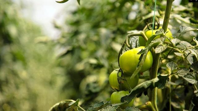Kako suzbiti TUTU ABSOLUTU? Ovaj moljac nanosi velike štete paradajzu