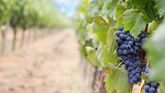Prihrana vinove loze u organskoj proizvodnji bez mineralnih đubriva