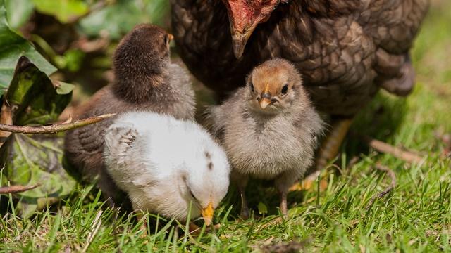 Pružite im pravo osveženje: Ishrana kokošaka tokom letnjih meseci