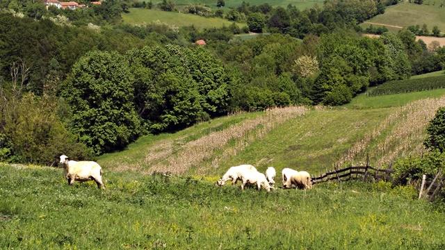 Ovčarstvo u Srbiji na staklenim nogama: Ima ovaca, ali nema odgajivača