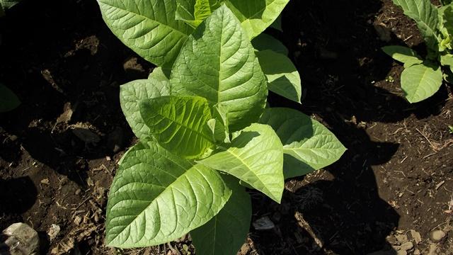 Prirodni pesticid od listova duvana protiv grinja i lisnih vaši