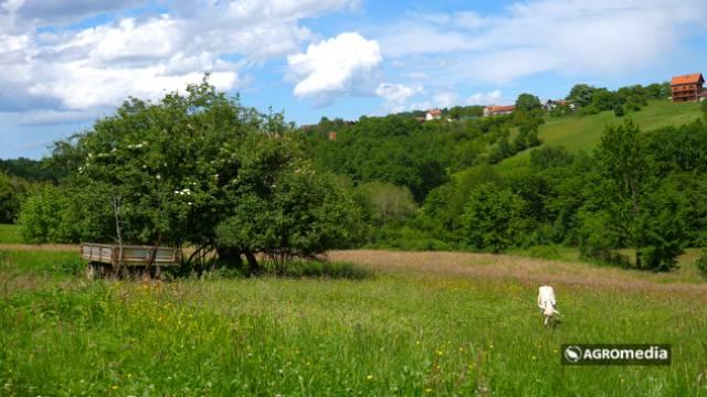 Gde koza pase pod ručnom [AGROFOTO]